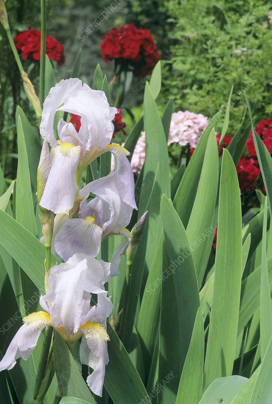 German iris (Iris germanica)