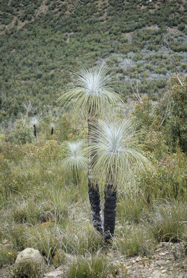 Black gin grass tree