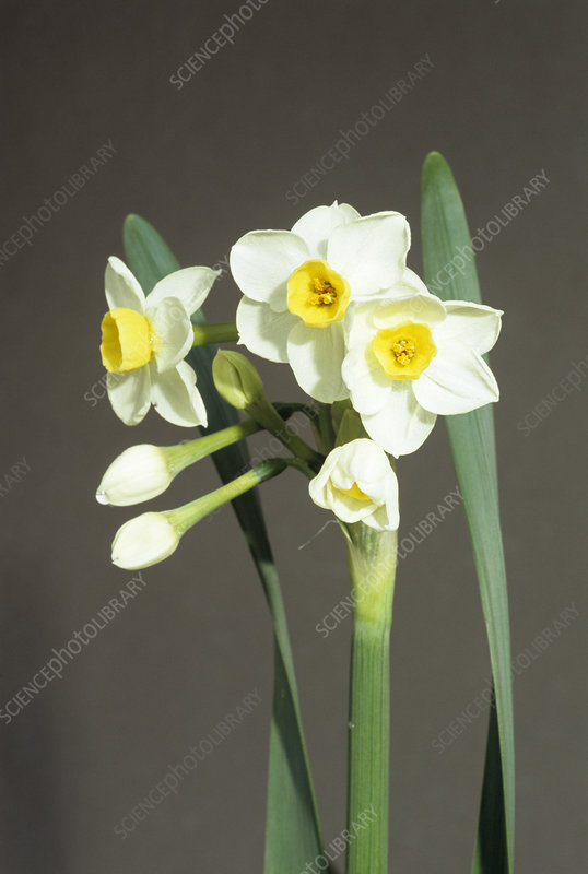 Daffodil 'Avalanche' flowers