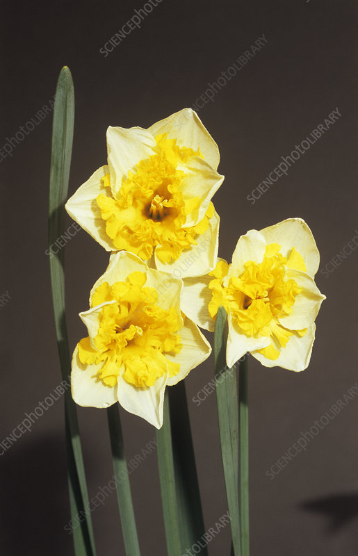 Daffodil 'Valdrome' flowers