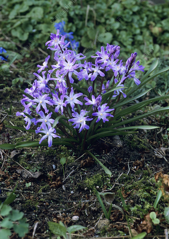 Glory of the snow (Chionodoxa forbesii)