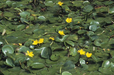 Fringed water-lily (Nymphoides peltata)