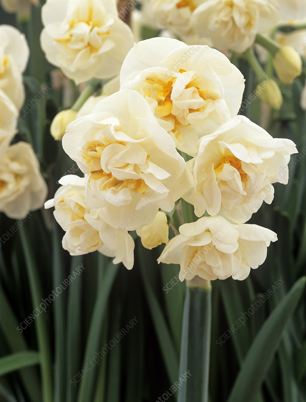 Daffodil 'Bridal Crown' flowers