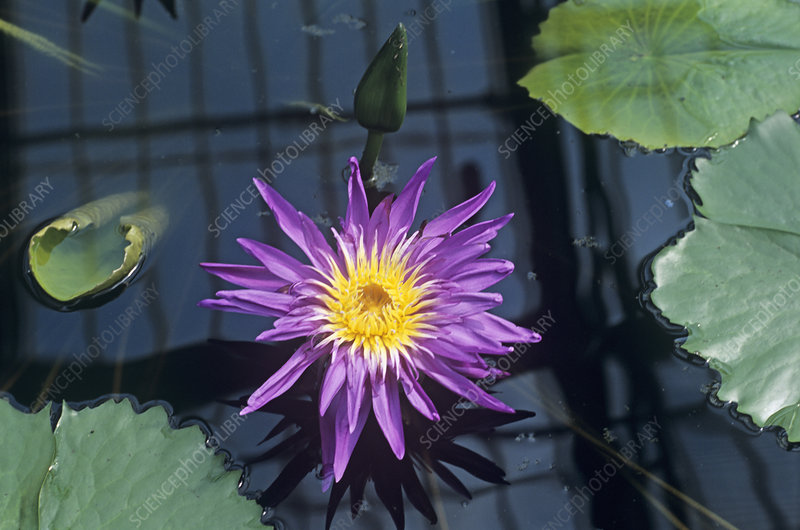 Water lily 'Midnight' flower