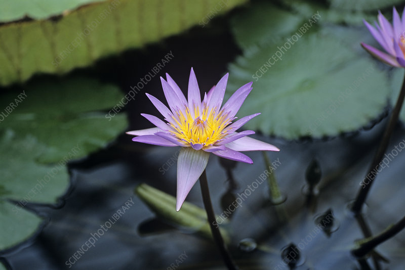 Water lily 'Blue Beauty' flower