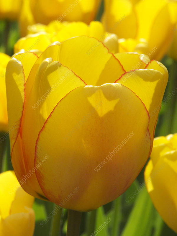 Tulip (Tulipa 'Rainbow Warrior')