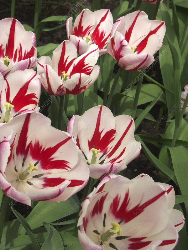Tulip (Tulipa 'Ice Follies')