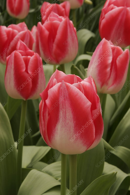 Tulip (Tulipa 'Garden Party')