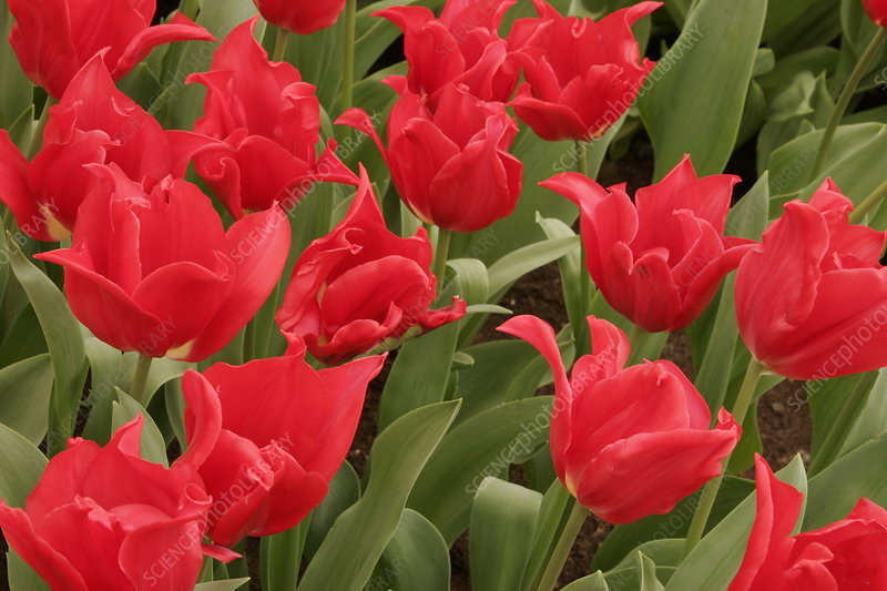 Tulip (Tulipa 'Pretty Woman')
