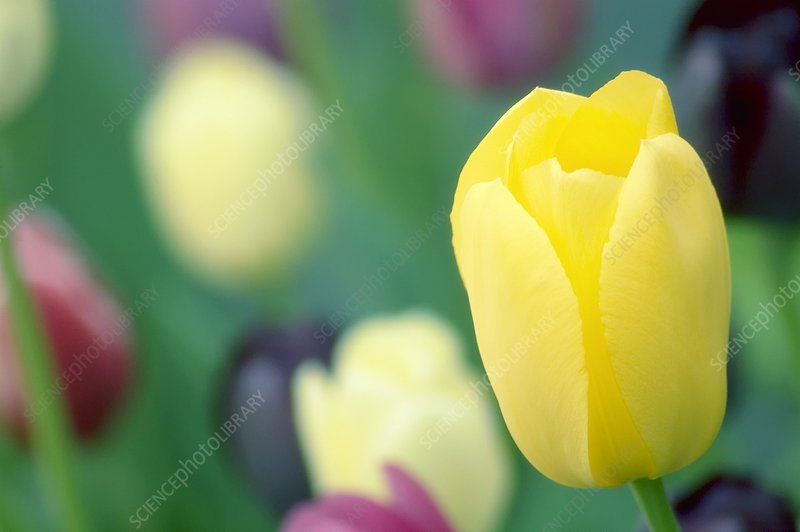 Yellow tulip (Tulipa sp.)