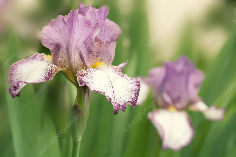 Bearded iris (Iris germanica)