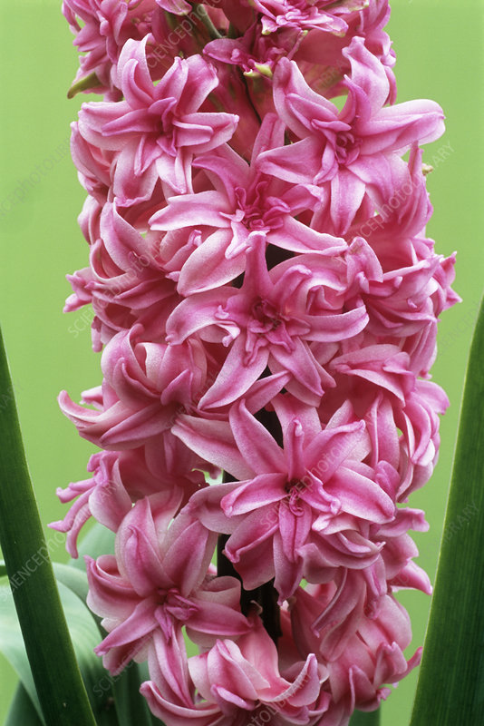 Double hyacinth 'Chestnut Flower'