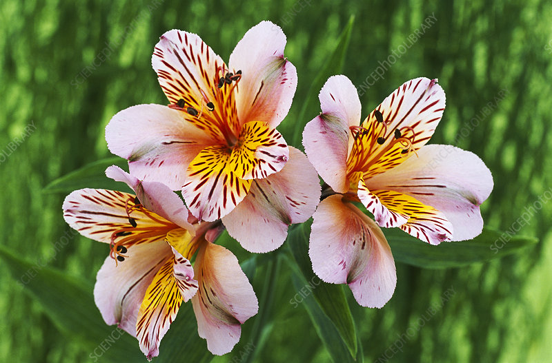 Alstroemeria 'Princess Alice'