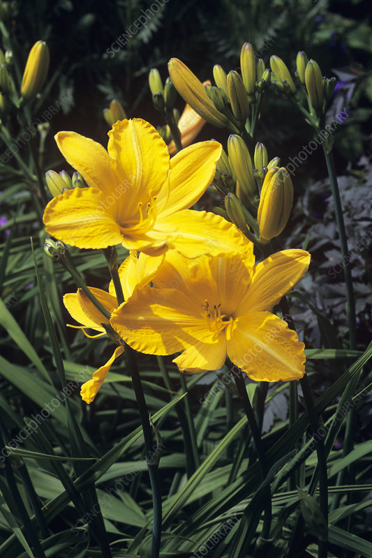 Daylilies (Hemerocallis 'Cartwheels')