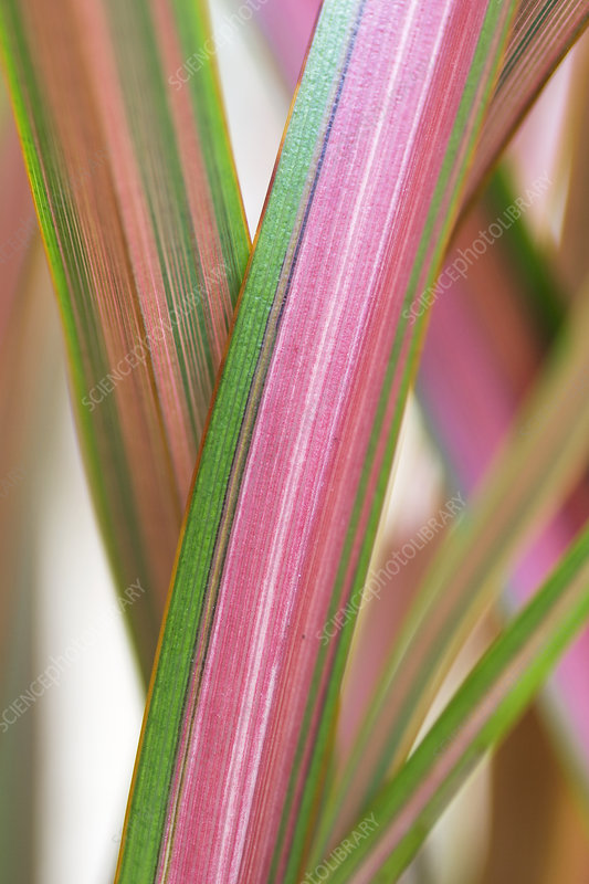 New Zealand flax (Phormium 'Jester')