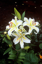 Lilium 'Golden Ray'