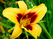 Daylily (Hemerocallis 'Wide Eyed')