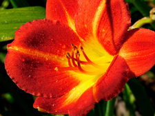 Daylily (Hemerocallis 'Little Red Hen')