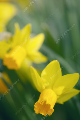 Yellow trumpet daffodil (Narcissus sp.)