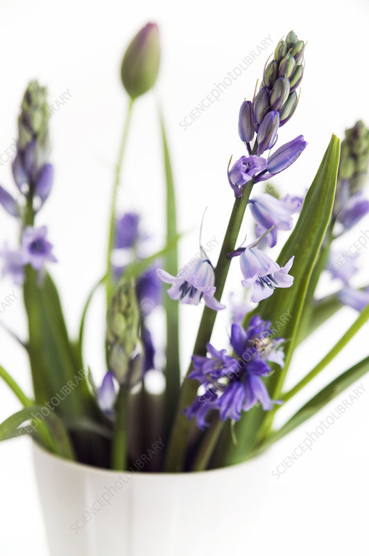 Spanish bluebell (Scilla hispanica)