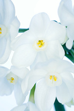 Paperwhite daffodils (Narcissus sp.)