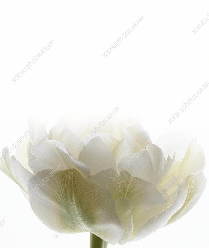 White tulip (Tulipa sp.)