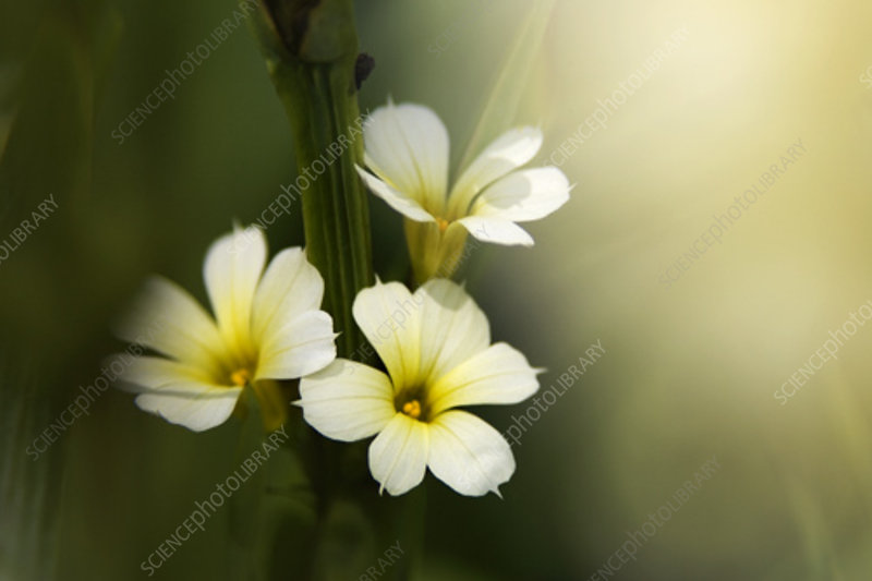 Sisyrinchium striatum flowers