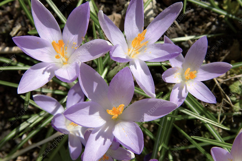 Crocus flowers (Crocus sp.)