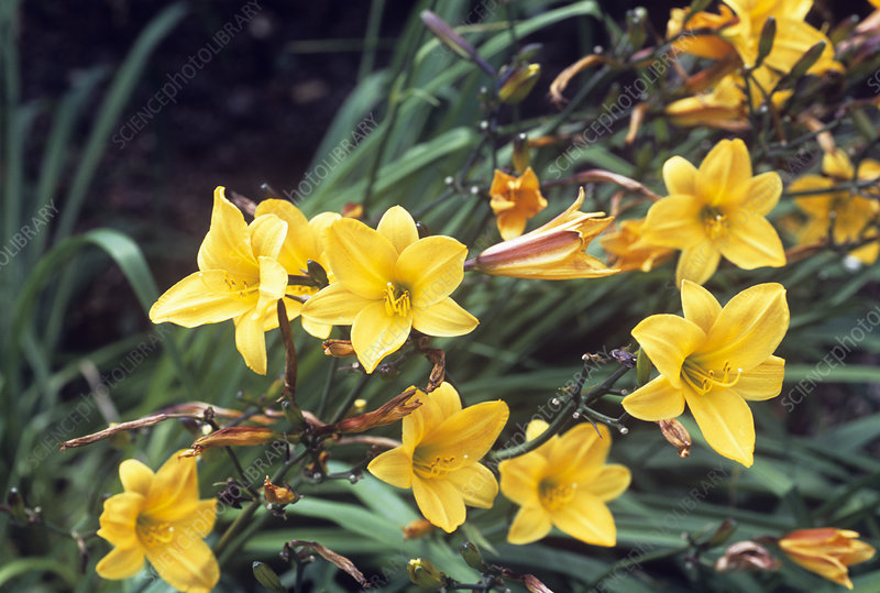 Day lily 'Hyperion'