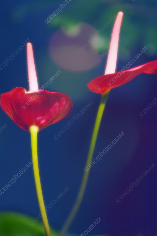 Painter's palette (Anthurium andraeanum)