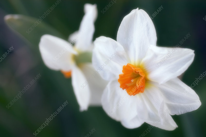 White daffodils (Narcissus sp.)