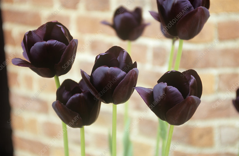 Tulips (Tulipa 'Queen of the Night')