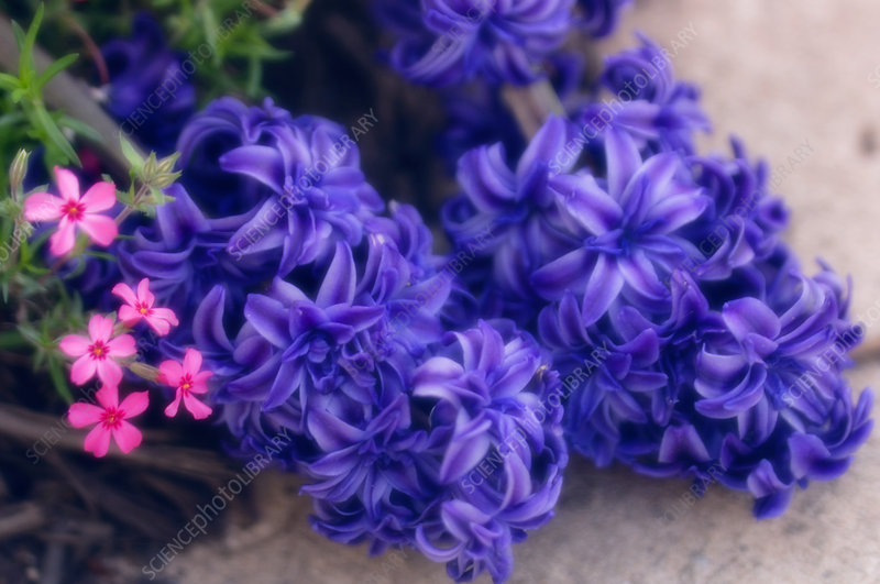 Common hyacinth (Hyacinthus orientalis)