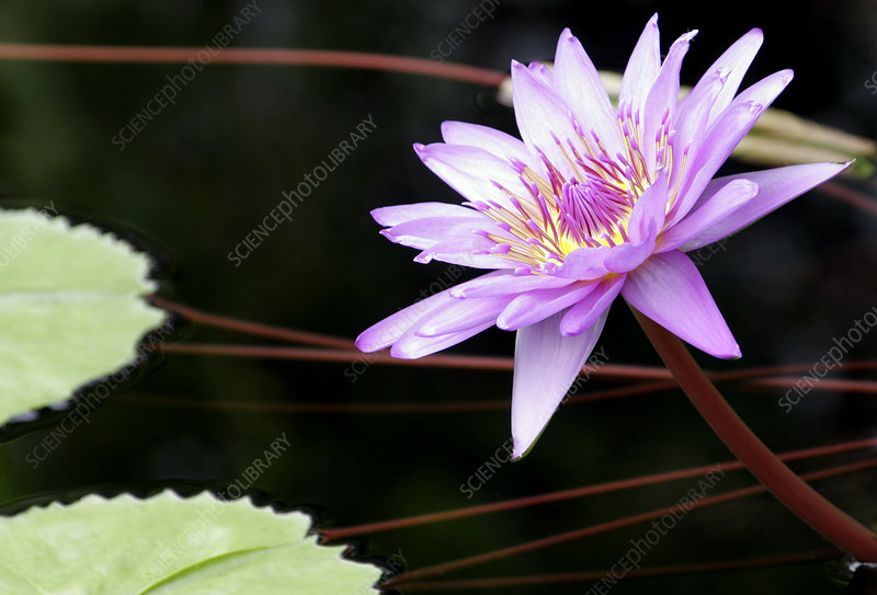 Water-lily, Nymphaea 'Director G T Moore'