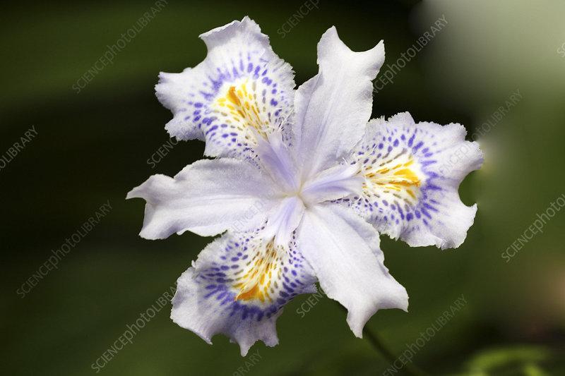 Sams Credit Login >> Sword lily (Iris japonica 'Eco Easter') - Stock Image B570 ...