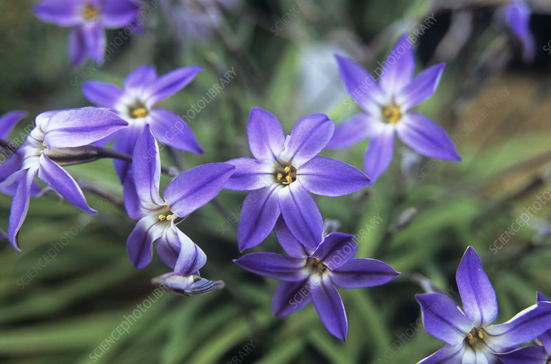 Ipheion uniflorum 'Froylemill'