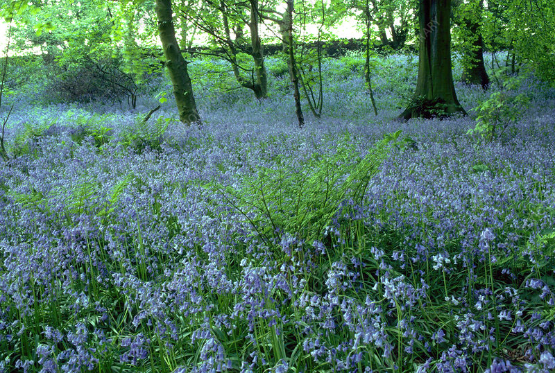 Bluebells in oak woodland