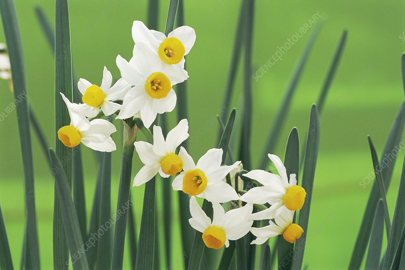 Daffodils (Narcissus canaliculatus)