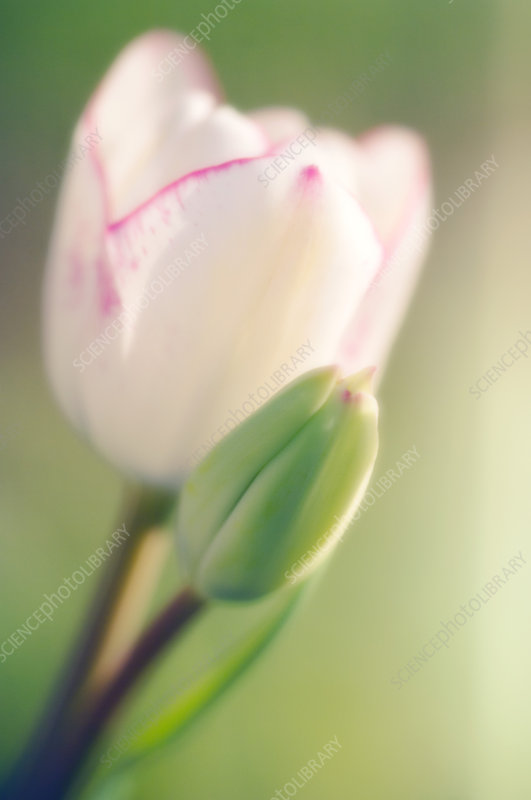 Tulip flower and bud (Tulipa sp.)