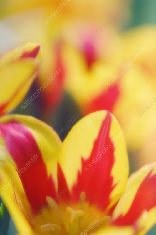 Tulip flowers (Tulipa sp.)