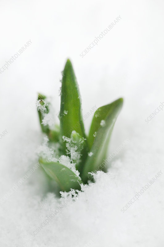 Plant emerging in snow