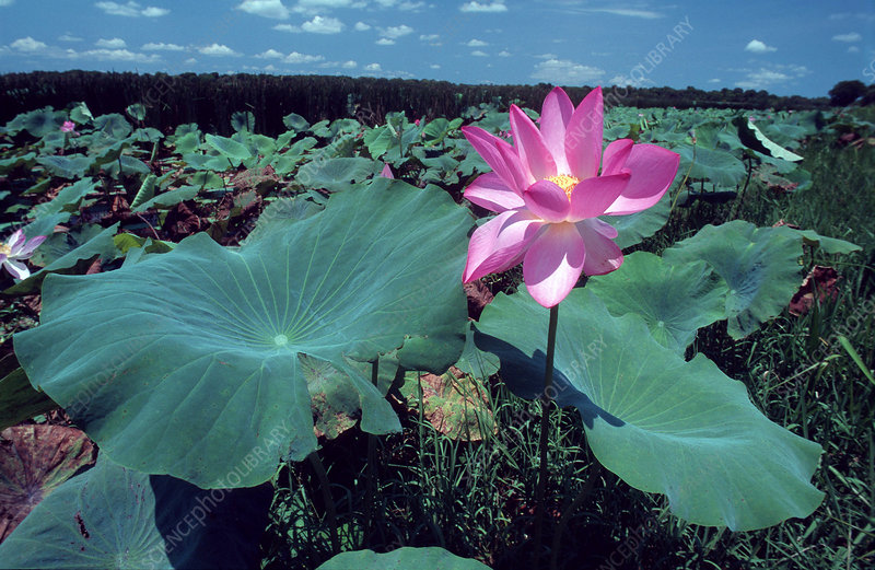 Lotus flower (Nelumbo sp.)