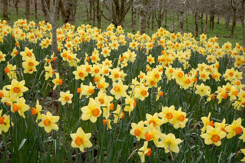 Daffodils (Narcissus 'Red Devon')
