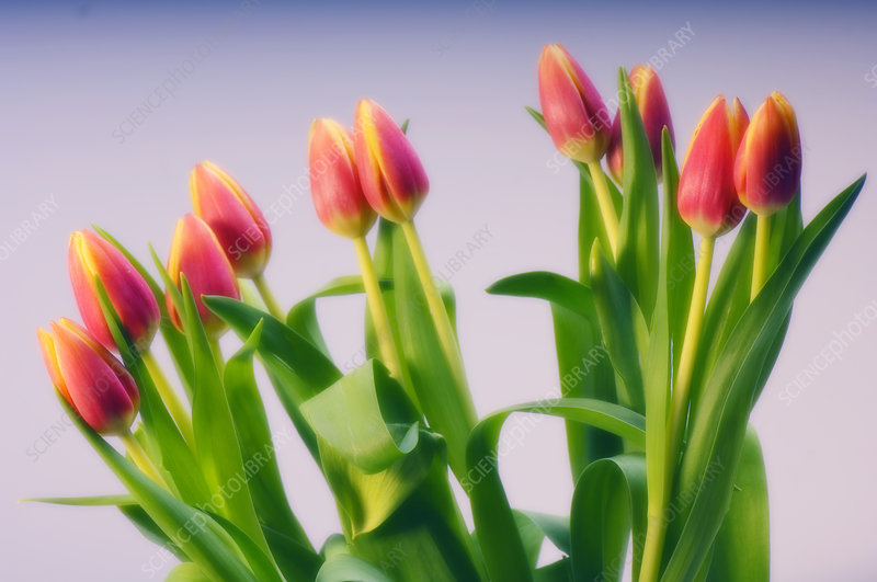 Tulip bouquet (Tulipa sp.)