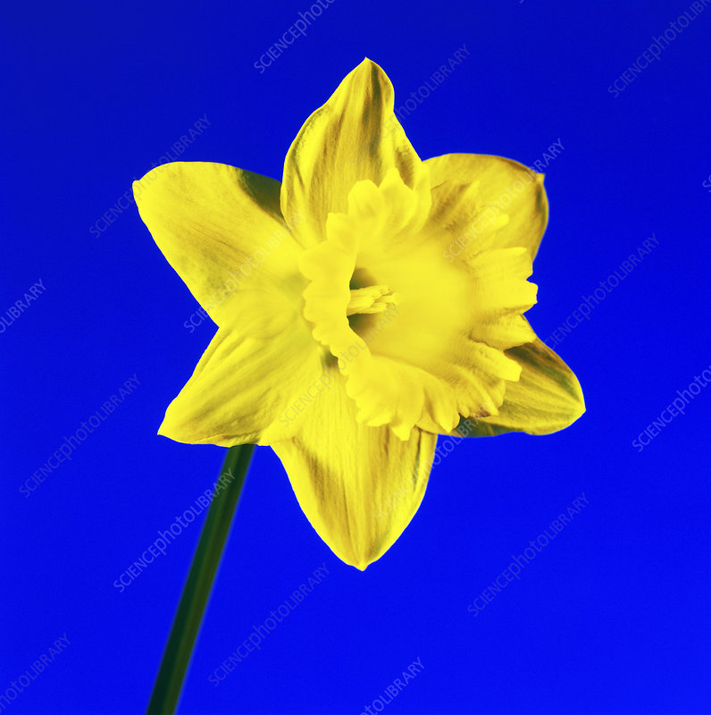 Daffodil (Narcissus sp.)