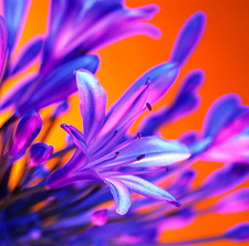 African lily (Agapanthus sp.)