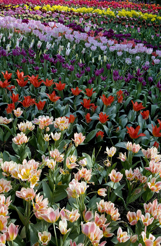Mixed tulips (Tulipa sp.)