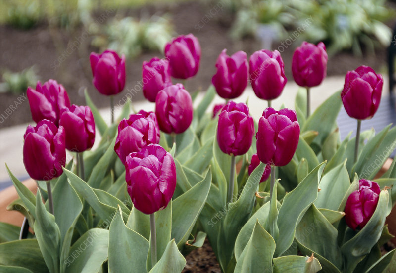Tulips (Tulipa 'Purple Prince)