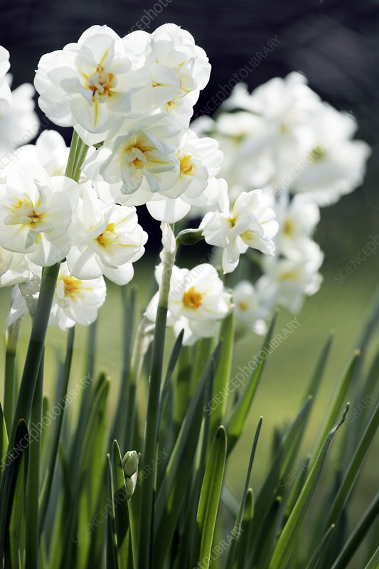 Daffodil (Narcissus 'Bridal Crown')