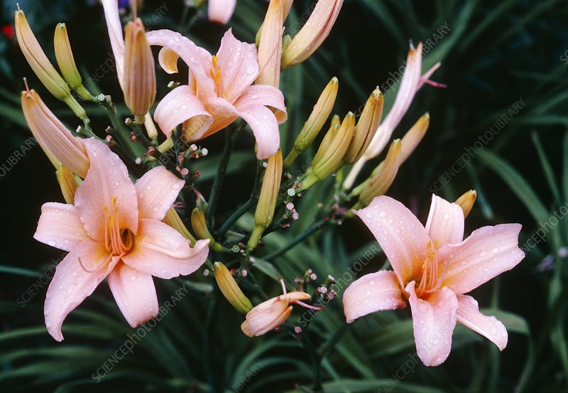 Daylily (Hemerocallis 'First Formal')